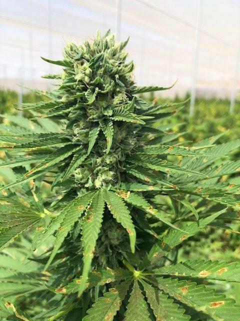 CBD-CBG Hybrid Seeds